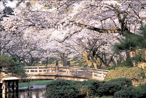 bridge and cherry blossom - Japanese Garden Cherry Blossom Bridge
